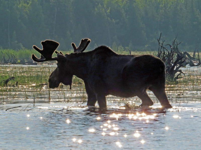 bull in velvet