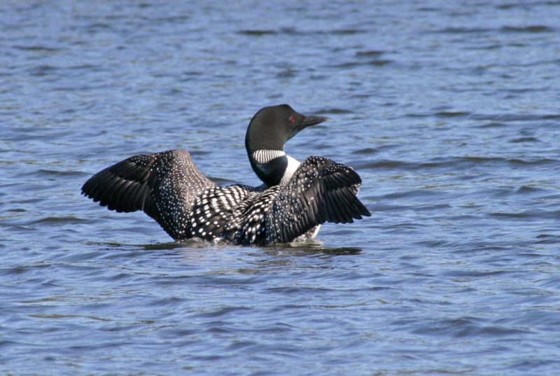 loon show
